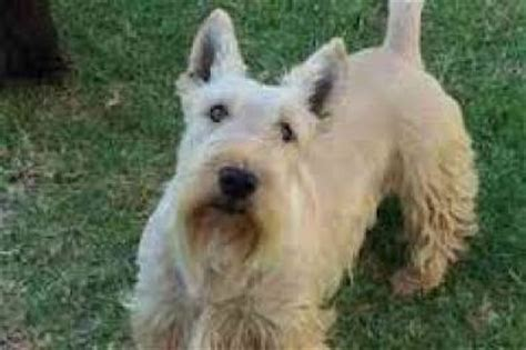 wheaten scottish terrier puppies for sale wheaten and black scottish terrier pups for sale ermelo dogs and puppies junk
