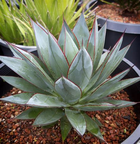 agave blue glow cactus jungle