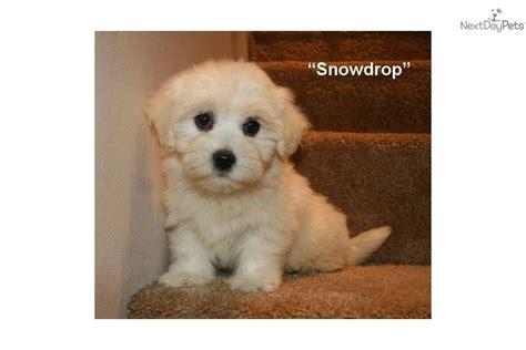 havanese puppy names puppy havanese breeds picture