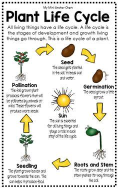 biography lesson plan for 2nd grade plant life cycle plant life cycles chart classroom decor pinterest