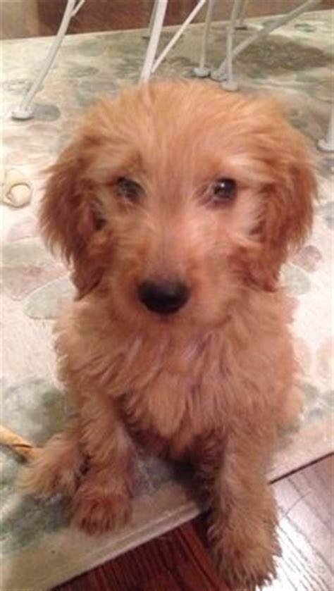 goldendoodle puppy faq coat types of goldendoodles faq s welcome to