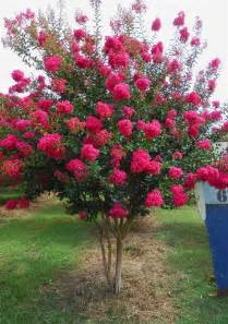How Much Does Backyard Landscaping Cost 9 Crape Myrtle Tonto Love It Small Trees Pinterest