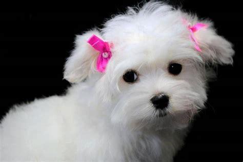 cani piccoli da appartamento pelo corto maltese pelo corto cani taglia piccola razza maltese