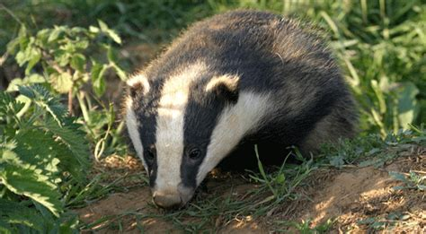 badger cull petition badger cull e petition breaks records mags4dorset