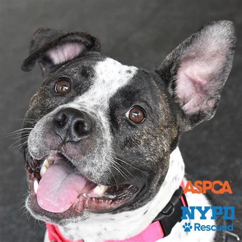 aspca dogs for adoption adoptable dogs nyc adoption center aspca