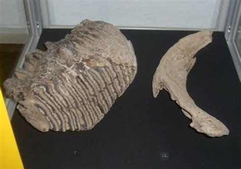 Zähne Polieren Wie Oft by Steinkern De Die Fossilien Community Fossilien Und