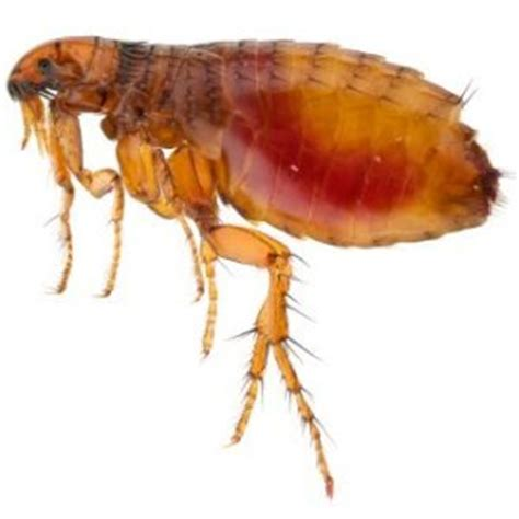 fleas backyard getting rid of fleas naturally thriftyfun