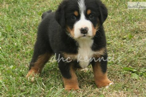 greater swiss mountain puppies greater swiss mountain puppy for sale near springfield missouri 04e62491 64e1