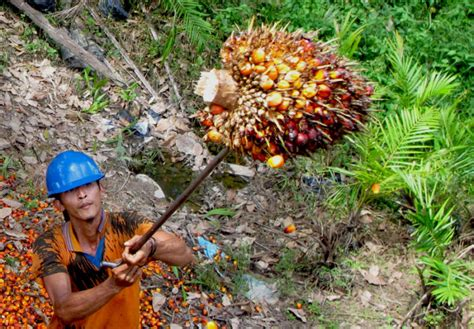 Minyak Kelapa Di Pasar indonesia kuasai pasar permintaan minyak sawit di pakistan
