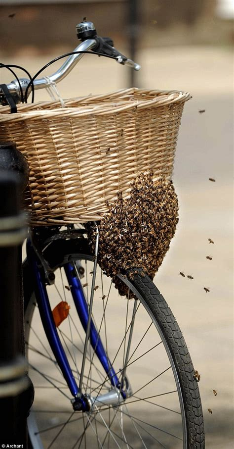 Keranjang Sepeda anyone for a bee cycle ride swarm of insects settle on bike basket bringing to a stand