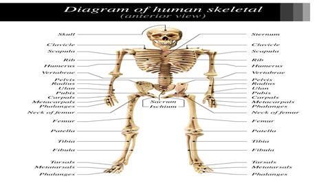 diagram of human skeleton with labels labeled skeletal system diagram