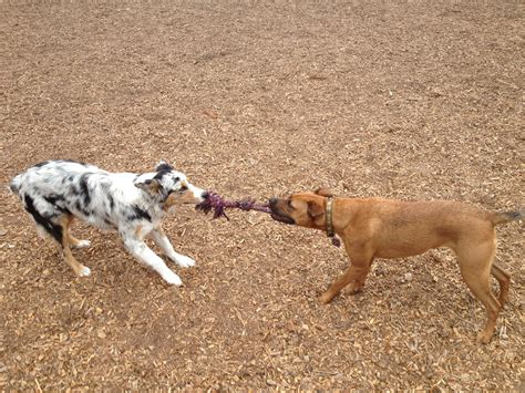 tug of war with puppy dogs tug of waraya s