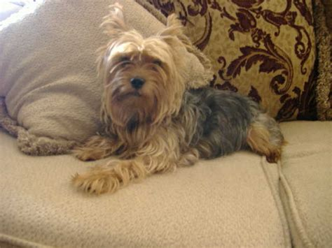 found yorkie lost yorkie terrier lost found pets 111th ave and w cbell ave