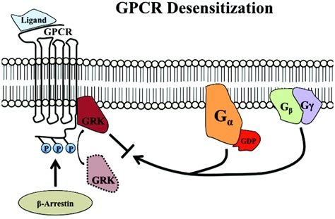 g protein receptor kinase g protein coupled receptor kinases as therapeutic targets