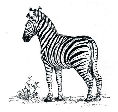 imagenes de cebras en blanco y negro dibujo infantil cebra imagui