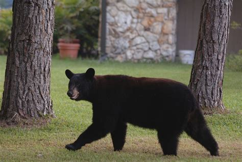 pictures orlando area bear sightings orlando sentinel