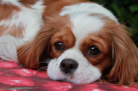 cavalier king cani cavalier king charles spaniel caratteristiche e cose da sapere
