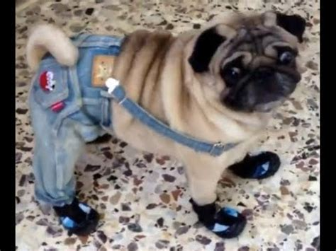 dogs wearing shoes dogs wearing shoes compilation doovi
