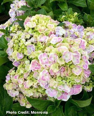 Wedding Ring Hydrangea by Wedding Ring Hydrangea Plymouth Nursery