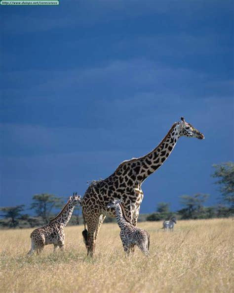 imagenes de jirafas apareandose fotos de jirafas