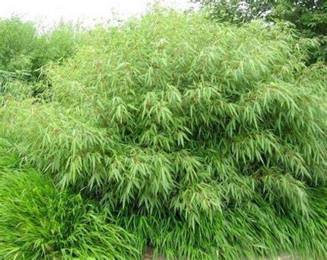 Pflanzen G Nstig Kaufen 126 by Bambus Fargesia Murielae G 252 Nstig Kaufen