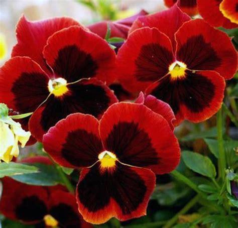 imagenes de rosas tricolor flores mais lindas e raras do mundo fotos toda atual