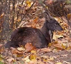 Musk deer wikipedia