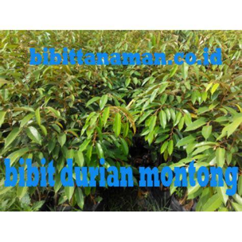 Jual Bibit Durian Bawor Unggul jual bibit durian unggul bibit tanaman bibit unggul