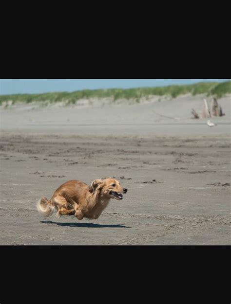 half golden retriever half wiener my friends is half golden retriever half wiener and seemingly no legs the