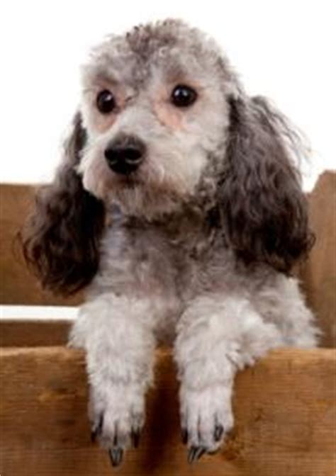 how to get your trained as a therapy therapy dogs information how to get your poodle trained