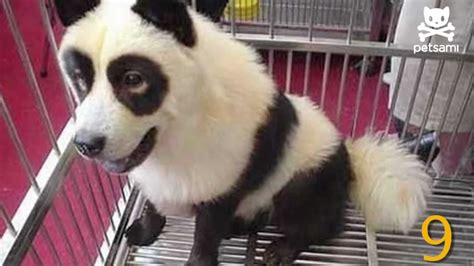 puppies that look like pandas panda chow puppies www imgkid the image kid has it
