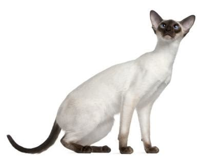 Siamese Cats   LoveToKnow