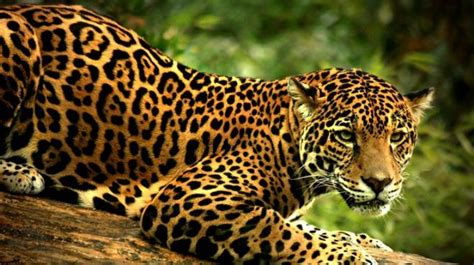 imagenes del jaguar en su habitat jaguar scientific tour mexico ecocolors tours mexico
