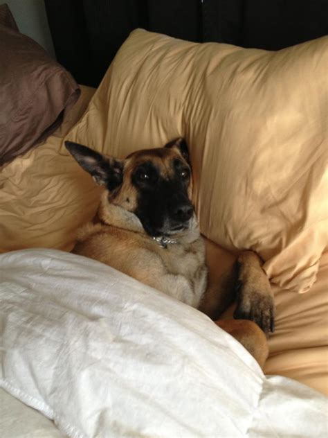 dogs sleeping in bed belgian malinois dog sleeping in bed pure malinois puppies