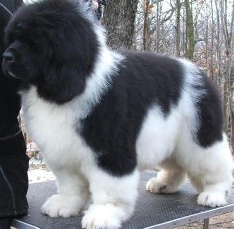newfoundland puppies virginia newfoundland puppy this looks like tiny when he was a