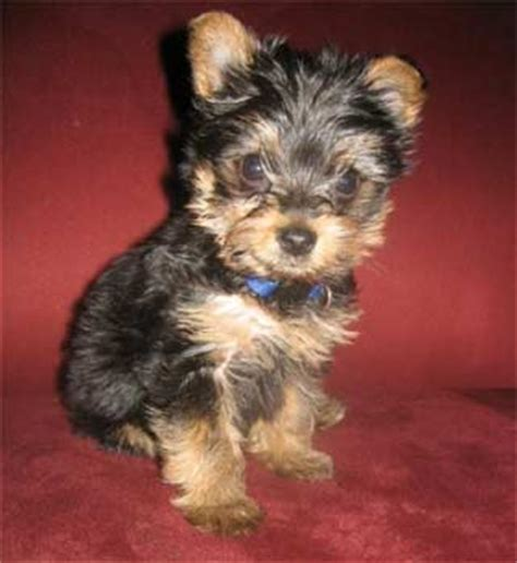 at what age do yorkies calm terrier buster age 8 weeks owned by springer breeds picture