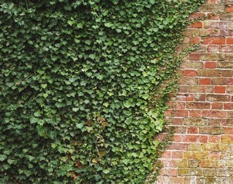 jenis tanaman pagar hidup  rumah  bibitbungacom