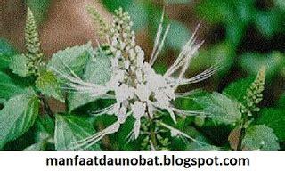 manfaat khasiat daun kumis kucing  kesehatan