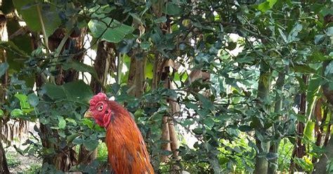 Jual Anakan Ayam Bangkok Batu Lapak ayam bangkok batu lapak bursa penjualan ayam