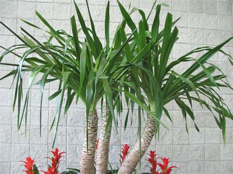 Tropical Yucca Plant by Outdoor Plant With Quot Mexican Quot In It S Name There Are Two