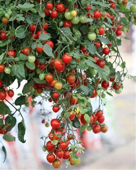 benih tomat import berbagai jenis fresh nature