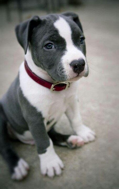 pit bull terrier puppy blue nose puppy pitbull animals pinterest pitbull