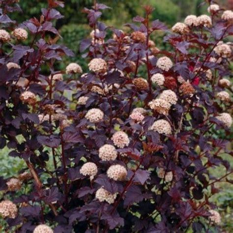 physocarpus opulifolius diabolo physocarpus opulifolius diabolo ninebark