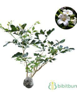 Bibit Tanaman Kemuning Jumbo tanaman nagasari dewadaru bibit bunga