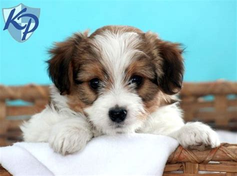 mini aussiedoodle puppies mini puppies puppys and puppies for sale on