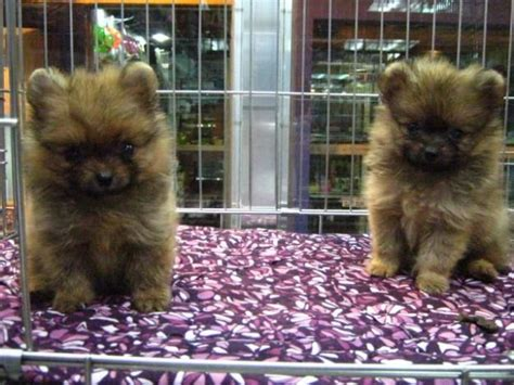 micro pomeranian for sale philippines 22 best pomeranian puppies images on pomeranians animals and adorable puppies