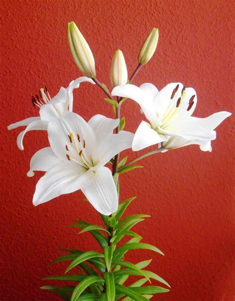 imagenes de lilis blancas en macetas azucenas