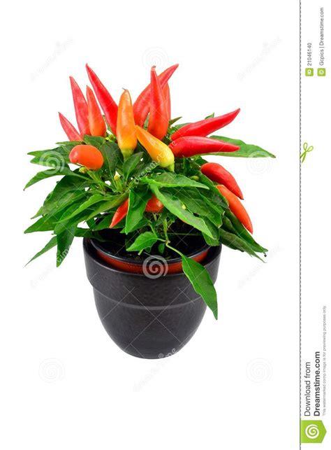 peperoncino in vaso una pianta mixed conservata in vaso peperoncino rosso