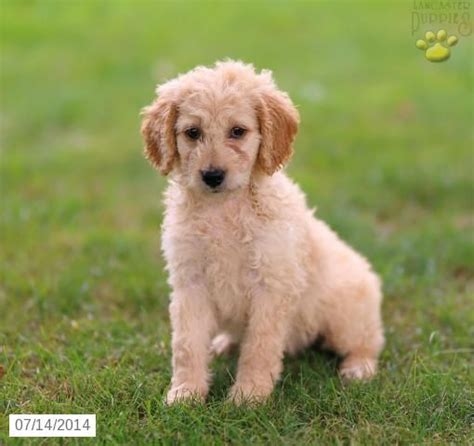 goldendoodle puppies for sale ta 39 best images about mini goldendoodles on