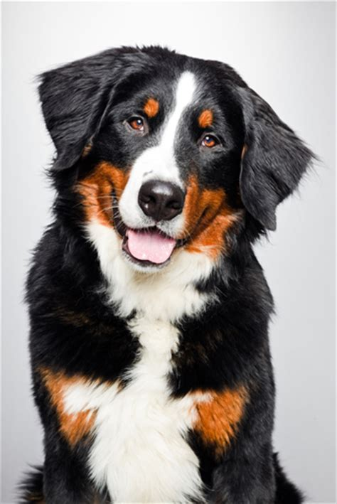 bernese mountain puppies cost how much does an electric fence cost dig your